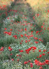 Poppies near Shotton Steelworks, Deeside, North Wales, UK (Ministry) Tags: uk red flower field wales industrial estate north cymru meadow poppy poppies daisy marguerite shotton papaver queensferry steelworks gardencity oxeye deeside rhoeas gogledd mayweed
