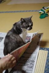 pet animal cat newspaper ペット 猫 miyako 動物 新聞 sigma30mmf14exdchsm みやこ canoneos7d