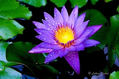 Flower 2 (lukiassaikul) Tags: flowers plants macro waterlily urbandlife