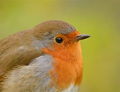 Close to you.... (Carolyne Barber) Tags: detail macro robin close closetoyou cheekychappie beautifulrobin carolynebarber copyrightcarolynebarber