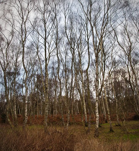 Winter silver birch wood