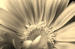 BUON NATALE!!! MERRY CHRISTMAS!!! (Fabrette) Tags: flower macro nature natura fiore seppia veterinarifotografi