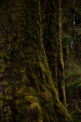 Giant Sitkas (Crest Pictures) Tags: rainforest sitka olympicnationalpark spruce oldgrowth hohrainforest