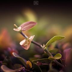Flora1 (Dezign Horizon) Tags: plant flower nature hawaii leaf flora oahu vegetation