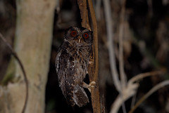 Palawan Scops Owl (Otus fuliginosus) from St Pauls National Park, Philippines. (Bram Demeulemeester - Birdguiding Philippines) Tags: philippines owls palawan nightbirds sabangbeach fbwnewbird scopsowls bramdemeulemeester palawanscopsowl philippinesbirdingtours birdguidngphilippines otusfuliginosus
