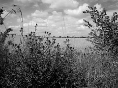 Weedy edges (pilechko) Tags: england sky blackandwhite nature monochrome clouds rural weeds lincolnshire fields crowle
