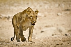 _DSC2465 (W.Mike.Mahoney) Tags: africa wildlife lion namibia lioness etosha 2010 etoshanationalpark