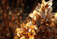 (ela_s) Tags: canon krakow explore hydrangea zima 2012 s90 grudzien hortensja