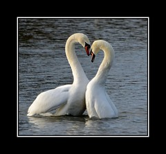 I will love you til i die........ (Levels Nature) Tags: uk england bird love nature birds swan heart somerset swans mute muteswan muteswans loveheart backwell carlsbirdclub