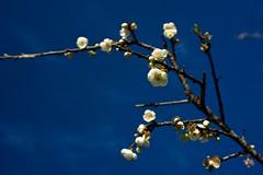 2012 Jan  X100 43 (Austin's Footprints) Tags: taiwan fujifilm digitalcamera plumblossoms nantou  taiwanimage beautifultaiwan finepixx100