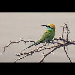 Green Bee Eater (VinothChandar) Tags: india green bird nature water birds forest canon photography photo photos vibrant reserve sharp bee thorn chennai tamilnadu eater psm greenbeeeater canoneos5dmarkii thiruporur siruthavur beaitufyl