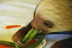 baby 2 toed  sloth from the buttercup center (gruntpig) Tags: rescue costa baby cute wet smile face animal america mammal nose eyes costarica slow head eating central young bowl rica eat greens sloth sanctuary vegatable bulgin