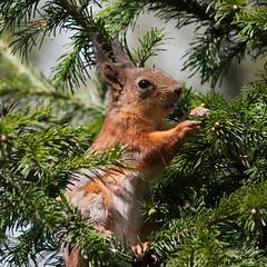 Mamasquirrel eating fir bits (TomiTapio) Tags: eye cemetery female helsinki squirrel iso400 mommy ears fir orava tame écureuil hietaniemi upatree sciurusvulgaris sqrl eartufts eurasianredsquirrel kurre canonef90300mmf4556usm
