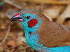 Red-cheeked cordon-bleu - male (anacm.silva) Tags: africa wild bird nature birds nikon wildlife natureza aves ave thegambia frica vidaselvagem serekunda kotu redcheekedcordonbleu anasilva gmbia uraeginthusbengalus nikond40x mygearandme