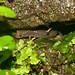 Ouachita Dusky Salamander