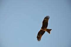 Kite no.2 (m_a__s_a) Tags: blue brown kite bird animal japan nikon enoshima shonan   d7000