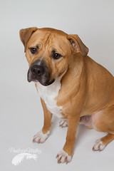 A little dejected (or rejected?) (Penelope Malby Photography) Tags: rescue dog mastiff canine bailey needahome mastiffcross staffycross tanandwhitedog epsomcaninerescue