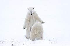 "Eisbären Cape Churchill. Hudson Bay, Kanada (8) • <a style=""font-size:0.8em;"" href=""http://www.flickr.com/photos/73418017@N07/6730323451/"" target=""_blank"">View on Flickr</a>"