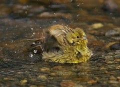 Splish splash - I was takin' a bath (Jaedde & Sis) Tags: gulspurv yellowhammer bird bathing thumbsup storybookwinner twothumbsup bigmomma agcgwinner anythinggoeswinner thumbwrestler wrestler 15challengeswinner challengefactorywinner thechallengefactory wrestlerchamp fotocompetition fotobronze perpetualwinner