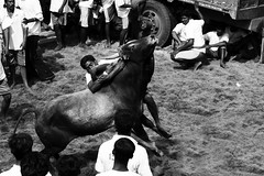 Rising Up! (VinothChandar) Tags: india history sport composition canon photography photo ancient shot photos action picture bull historic photograph freeze 7d bullfight madurai tame tamilnadu taming jallikattu alanganallur bulltaming