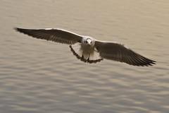 Black Headed Gull, Astbury Mere (Charliebubbles) Tags: canon eos cheshire blackheadedgull astbury 400d canoneos400d astburymere chroicocephalusridibundus astburymeretrust