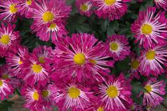 Fireworks Extravaganza In The Sun [Explore] (johnshlau) Tags: flowers nature hongk