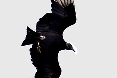 Black vulture (mothclark62) Tags: chile patagonia bird latinamerica southamerica island wildlife vulture blackvulture chiloe ancud chilean latinamerican chilo patagonian southamerican