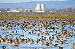 Northern California Agriculture and Winter migration (champbass2) Tags: california northerncalifornia ducks agriculture waterfowl anas refuge buttecounty anasacuta ricemill migratorybirds pacificflyway northernpintails champbass2 wintermigration northerncaliforniaagriculture pintais
