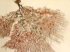 Scleraxonia Gorgonian fan coral DSCF65211 (Bill & Mark Bell) Tags: animal fauna australia westernaustralia animalia exmouth cnidaria anthozoa gorgonianfancoral alcyonacea taxonomy:kingdom=animalia taxonomy:class=anthozoa taxonomy:phylum=cnidaria geo:country=australia octocorallia geo:state=westernaustralia taxonomy:order=alcyonacea taxonomy:subclass=octocorallia geo:town=exmouth geo:lon=11425453egeolat2217752sgeoalt8m 11425453e2217752salt8m scleraxonia taxonomy:suborder=scleraxonia taxonomycommonnamegorgonianfancoral