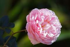 David Austin beauty (Deb Jones1) Tags: flowers green nature beauty rose canon garden botanical outdoors flora flickrduel debjones1