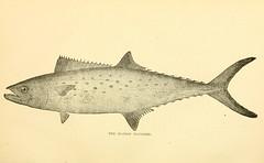 Anglų lietuvių žodynas. Žodis scomberomorus maculatus reiškia <li>scomberomorus maculatus</li> lietuviškai.
