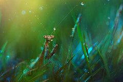 stalk (twomeows (away...)) Tags: light macro green water grass rain night canon garden dark mantis insect is close bokeh drew 100mm stalker droplet 50d