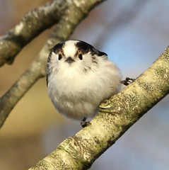 Tell Me I'm Cute! (Ger Bosma) Tags: bird dutch europe european thenetherlands mito longtailedtit aegithaloscaudatus staartmees schwanzmeise msangelonguequeue mygearandme mygearandmepremium img308581