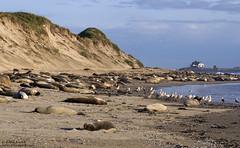 Elephant Seals -Ano Nuevo (Bob Stronck) Tags: california sanmateocounty pinniped anonuevostatepark miroungaangustirostris northernelephantseal sanmateococoast ©rmstronck stronckphotocom