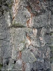 verschillend boomschors van dezelfde boom / different tree bark of the same tree (1) (dietmut) Tags: trees germany deutschland bomen hamburg bark 2012 duitsland schors panasoniclumix dmcfx500 dietmut januarijanuary