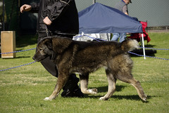 Central Asian Shepherd (Alexandra Kimbrough) Tags: show california dog miniature husky mini kai nordic claremont northern klee alaskan ukc conformation akk