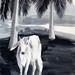 南国の牛(2009年)