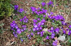 field of crocuses (joybidge) Tags: crocus victoriabc crocuses naturepatternscanada trishcanada tsmarch282014