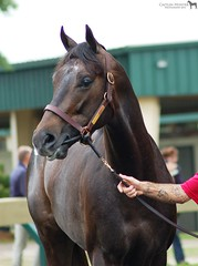OBS Two Year Old Sale '14 (Shazstock) Tags: horse black sport race grey bay track mare racing kings chestnut sales colt stallion obs filly