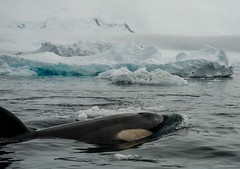 DSC_0396.jpg (Ashley.Cordingley1) Tags: sea storm elephant cold ice birds giant fur penguin extreme leopard seal british remote whales orca petrol wilderness humpback survey albatross antarctic peninsular weddell crabeater wilsons