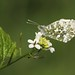 Orange tip (Anthocharis cardamines) butterfly