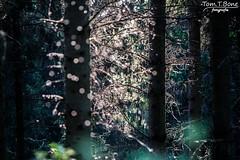 Falscher Frost (Tom.T.Bone) Tags: trees sun black tree forest canon eos licht natur fir l 40 sonne wald bume 70200 baum f4 schwarz conifers gegenlicht conifer tanne f40 tannen 70200mm 200mm rimlight nadelbaum nadelbume apsc 700d