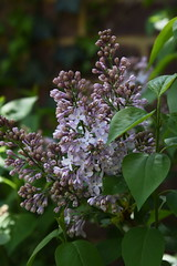 DSC_1492 Lavender (PeaTJay) Tags: flowers plants macro nature gardens fauna outdoors reading flora lavender micro closeups berkshire lowerearley nikond750