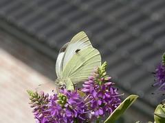 P1030054 (Clive Webber) Tags: largewhite pieridae pierisbrassicae