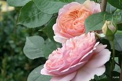 1-R0011515-001 (studio matahari lutong) Tags: pink orange white rose gardening space summicron tenderness leitz queenofflowers