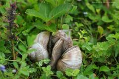 """Je t""aime"" Two rather amorous Roman Snails on Belmont Banks - Helix  pomatia (favmark1) Tags: kent belmont faversham helixpomatia burgundysnails romansnails belmontbanks"