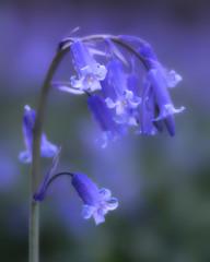 2015 Tiddesley - Blue Blue Bell (Birm) Tags: wood morning blue wild plant flower colour bluebells spring pershore hyacinthoides nonscripta tiddesleywood worcestershirewildlifetrust