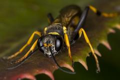Black and Yellow Mud Dauber (pointnshoot) Tags: wasp muddauber haywardregionalshoreline haywardshoreline canonmacroringlitemr14ex canonef100mmf28lmacroisusm