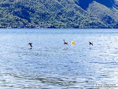 DSC_6595 (Roelofs fotografie) Tags: blue sky lake alps bird nature water birds landscape lago duck nikon blauw outdoor hill vogels natuur wave alpen lugano italie eend wilfred vogel landschap 2016 d3200 porlezza roelofs