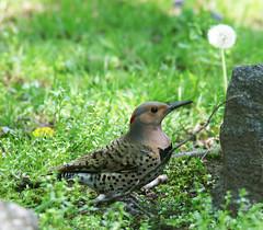 Northern Flicker (hbp_pix) Tags: cemetery mt auburn racoon flicker hbppix ch9pmunk